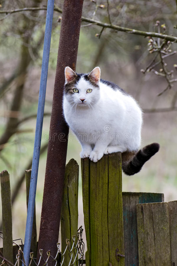 Cat Perched on Wooden Fence. Healthy cat on a wooden country fence looks at the camera attentively stock photography