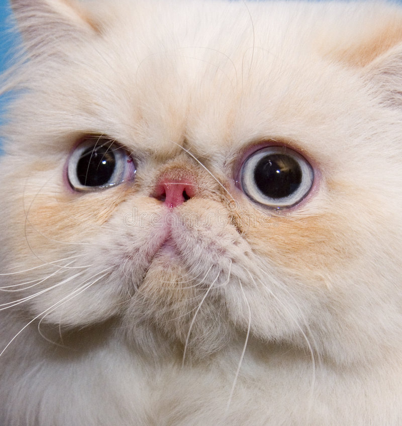 Cat persian. Persian cream cat with dlue eyes royalty free stock images