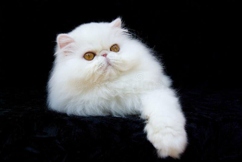 Cat Persian Copper Eyed White. White copper-eyed Persian relaxing on black velvet background royalty free stock photo