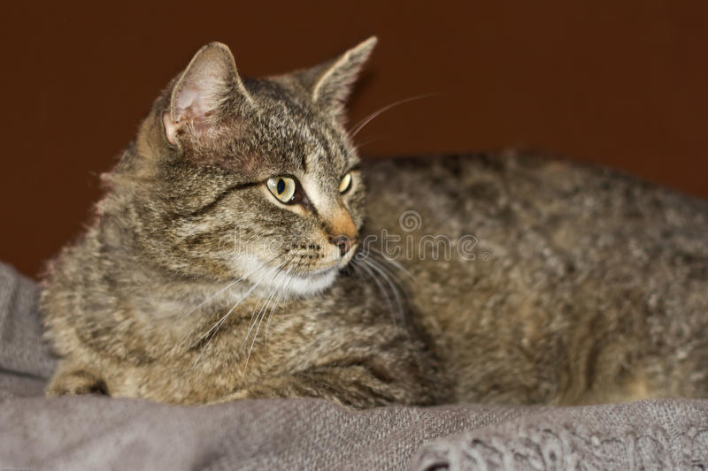 Download Cat stock photo. Image of beast, portrait, tabby, domestic - 33950588