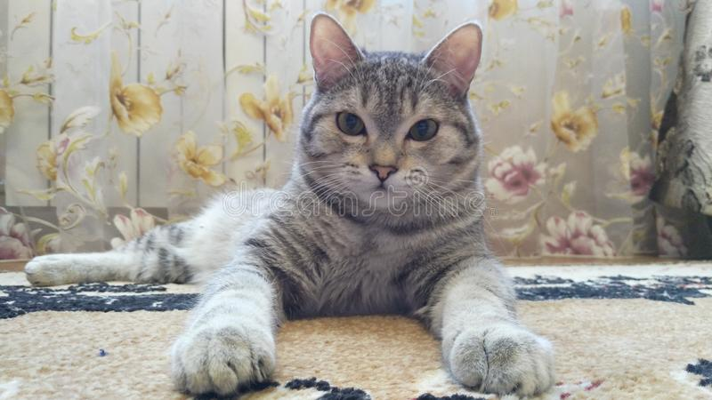 Cat pets animal with strong character. Home animals, tiger, strong character, leader, profile ayes, qween of animals, beautiful cat stock photography