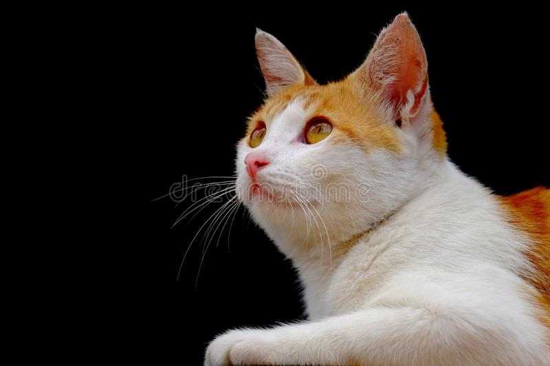 Cat photographed from the side. Looking forward with a serious stare royalty free stock photos