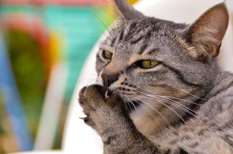 Cat picking his paw stock photos