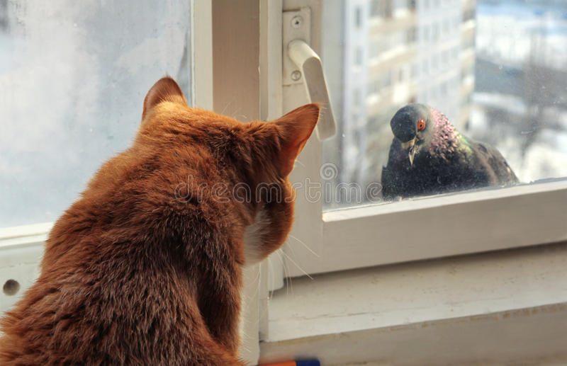 Cat and Pigeon. Domestic cat looking trough the window at the pigeon