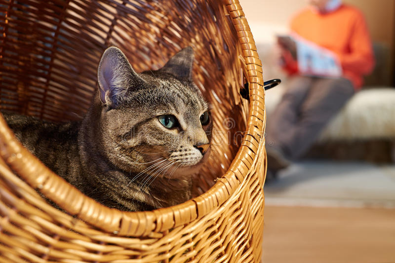 Domesticated cat. In wicker basket resting with his owner royalty free stock photos