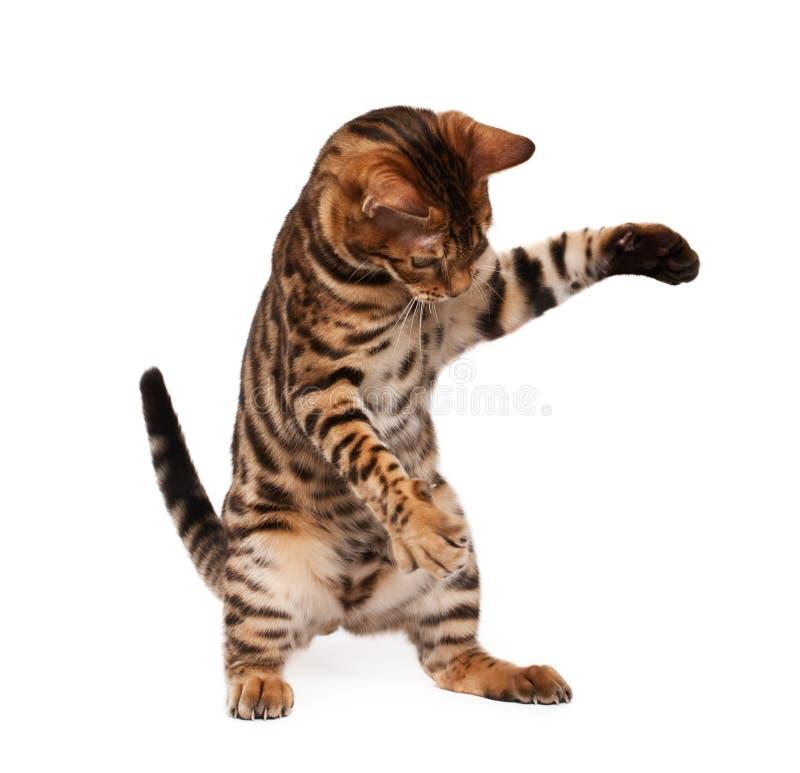cat playful royaltyfria bilder
