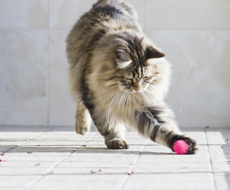Cat playing with a ball in the garden,brown siberian cat. Brown tabby cat of siberian breed playing in the garden royalty free stock photography