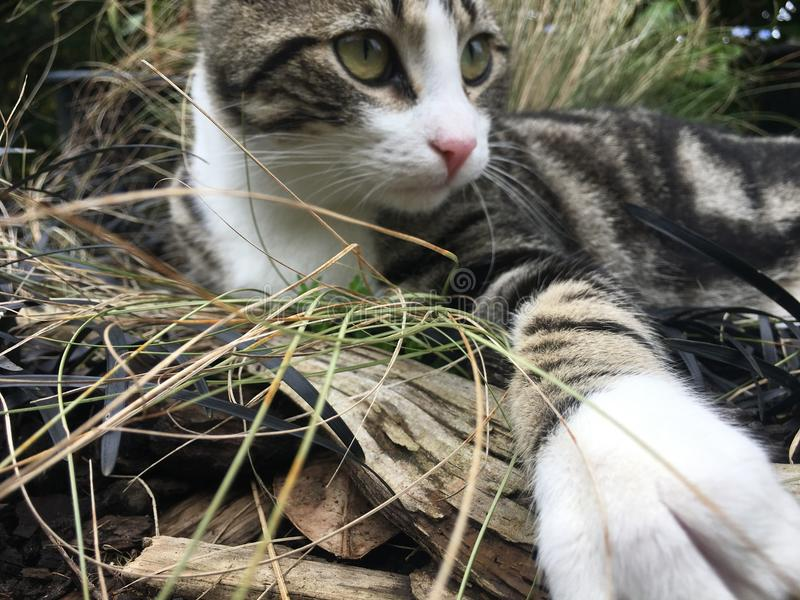 Cat playing in grass royalty free stock image