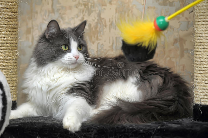 Cat playing royalty free stock images