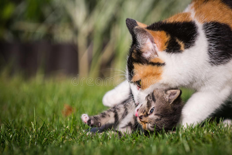 Cat playing with her kitty royalty free stock photo