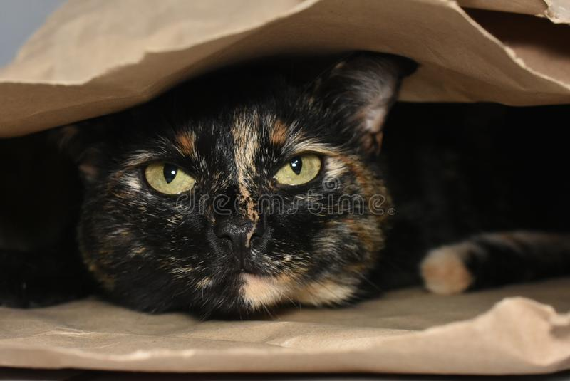 Cat playing hide and seek inside a cardboard bag stock images