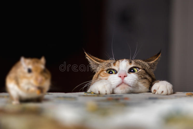 Cat playing with little gerbil mouse on thetable royalty free stock photography