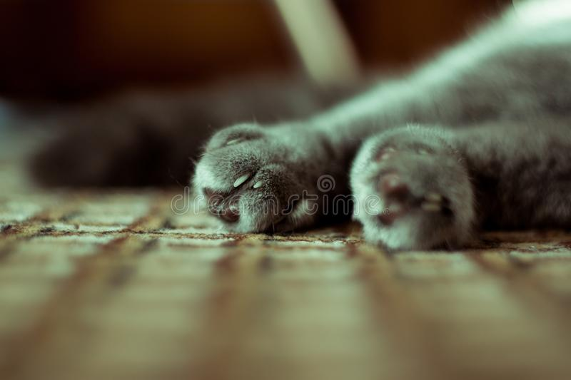 Lovely cat feet. A cat is playing with a man. She`s trying to scratch royalty free stock photo