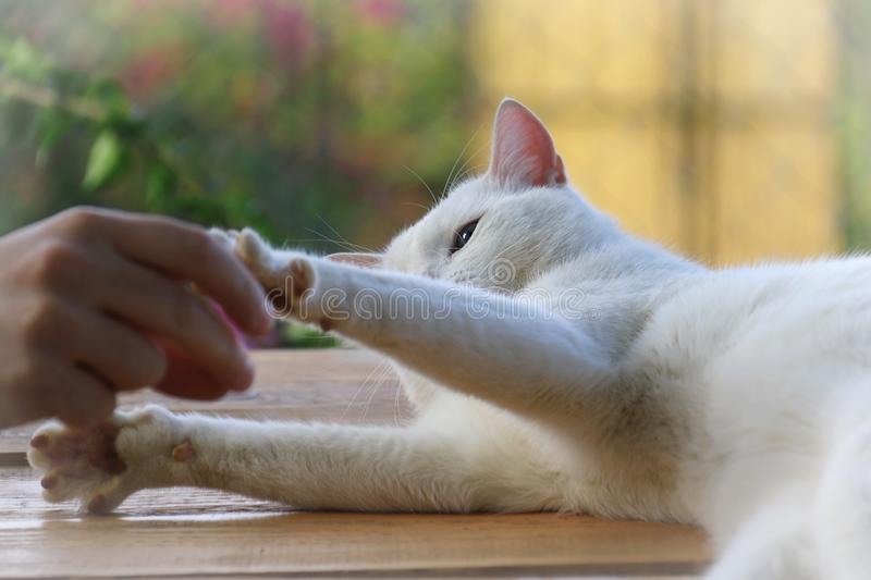 Cat Playing with Man royalty free stock photo