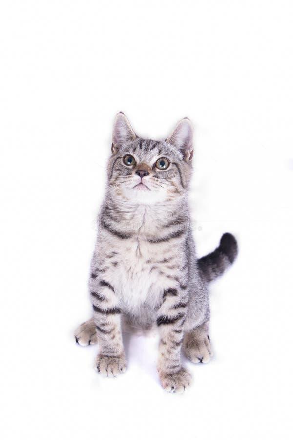 Cat Playing och se upp p? vit bakgrund arkivfoton