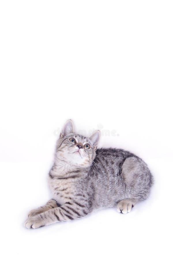 Cat Playing och se upp p? vit bakgrund arkivfoto