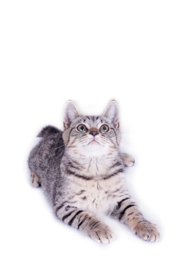 Cat Playing och se upp p? vit bakgrund royaltyfria foton
