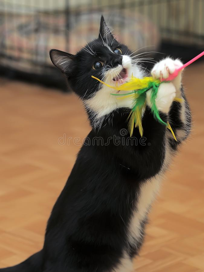 Cat plays, catches a toy by raising its front paws. A young cat plays, catches a toy by raising its front paws stock image