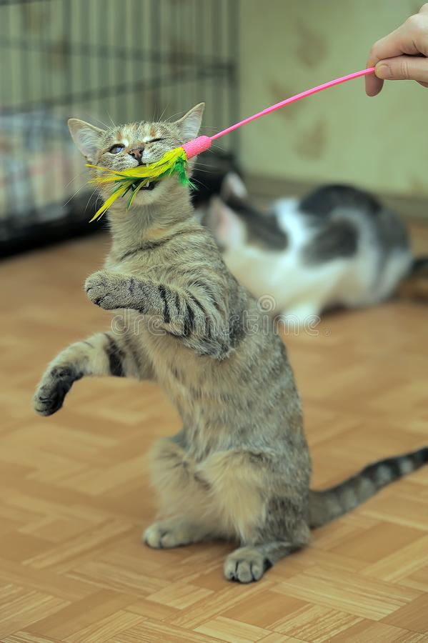 Cat plays, catches a toy by raising its front paws. A young cat plays, catches a toy by raising its front paws stock photo