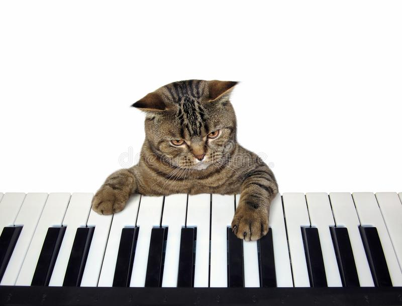 Cat plays the piano royalty free stock photography