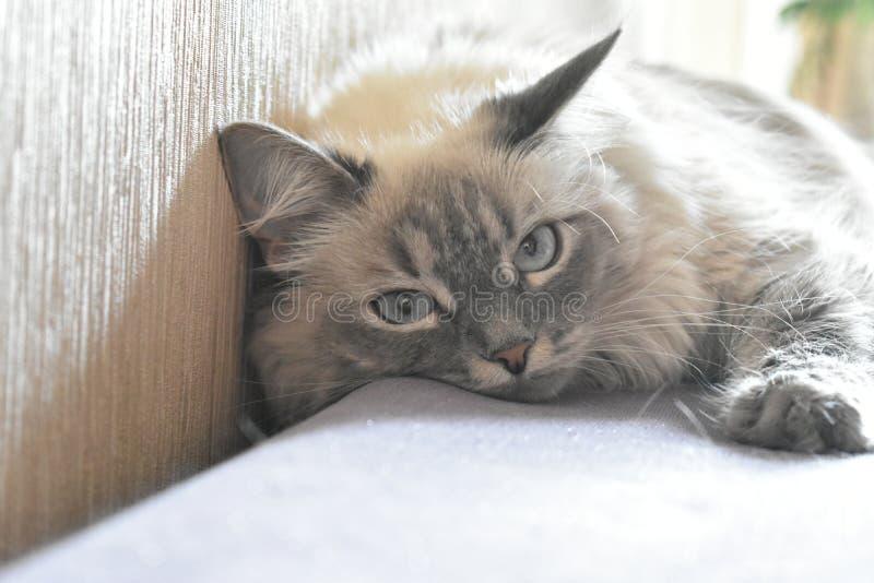 Cat Plyusha stock afbeelding