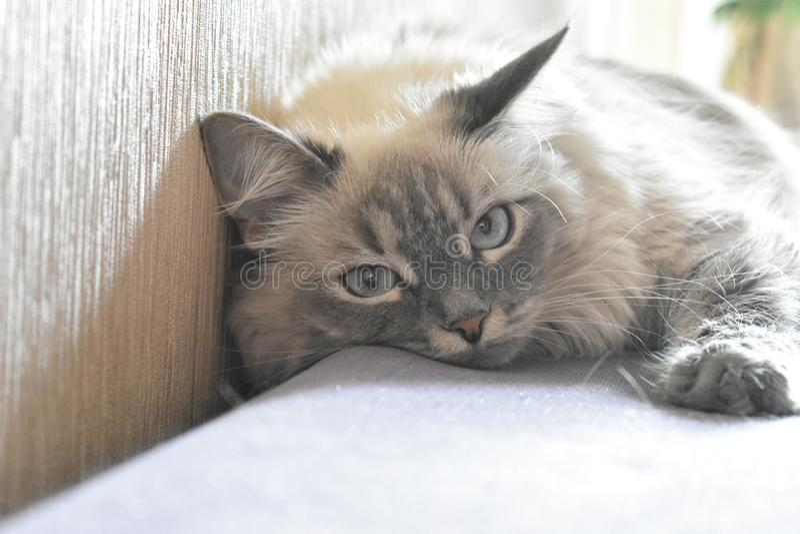 Cat Plyusha stock image