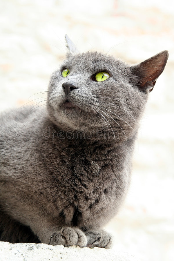 Free Cat Portait With Green Bright Eyes Stock Photography - 855682