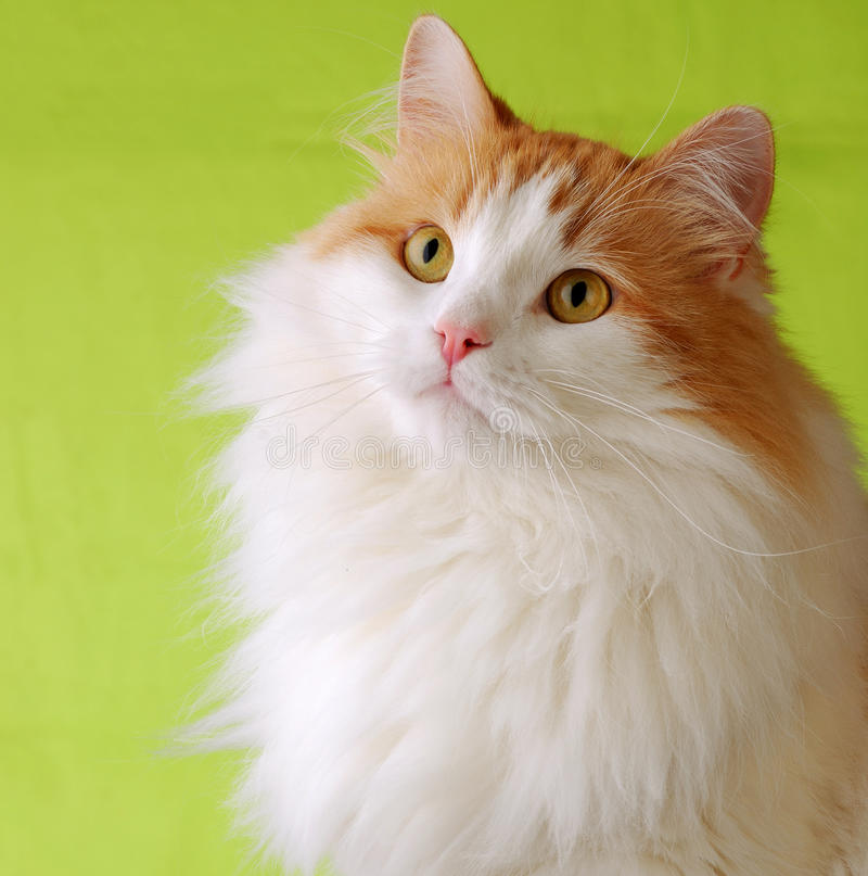 Free Cat Portrait Royalty Free Stock Images - 15225419