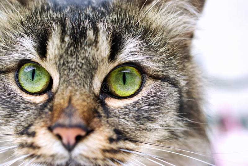 Cat portrait. Focus on cat's green eyes royalty free stock photo