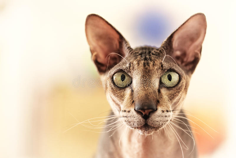 Download Cat portrait stock image. Image of blur, sphynx, looking - 27066173