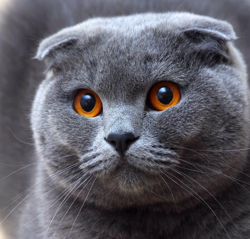 Download Cat portrait stock image. Image of light, look, scottish - 28513905