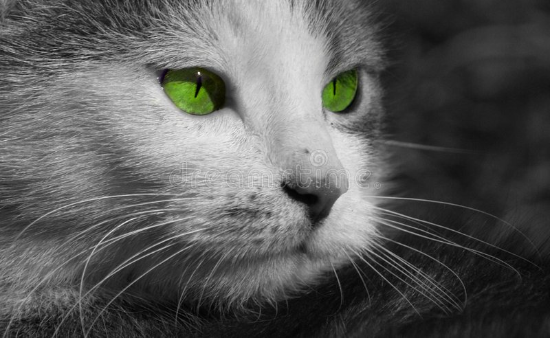 Cat portrait. A close black and white cat face portrait with green eyes stock images