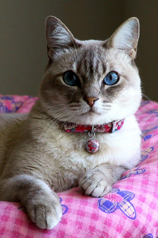 Cute cat with blue eyes stock photo