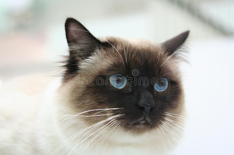 Cat. Portrait of cat with blue eyes stock photography