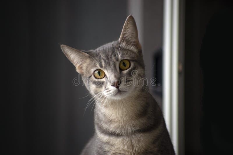 Cat Portrait domestique image stock