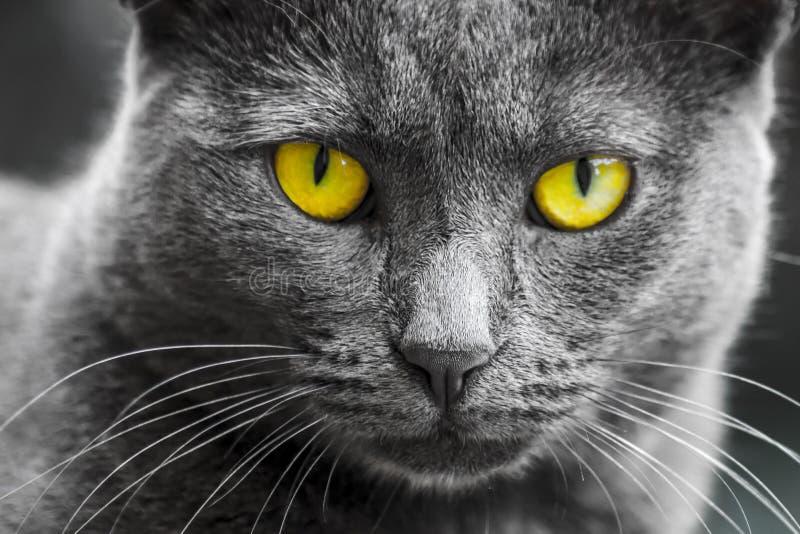 Cat. Portrait of gray yellow eyed cat royalty free stock photo