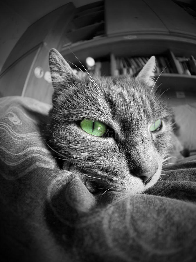 Download Cat Portrait With Green Eyes Stock Photo - Image: 23978742
