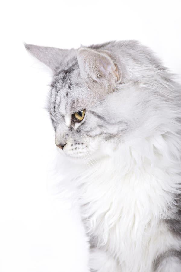 Cat Portrait, Main Coon Stock Photography