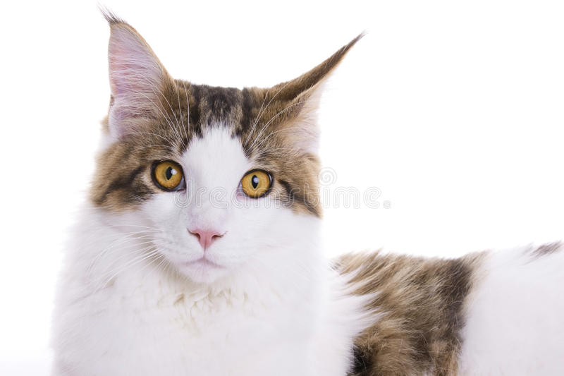 Download Cat portrait, Maine Coon stock image. Image of posing - 10482777