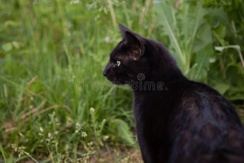 Cat Portrait Outdoors noire pendant l'été photographie stock