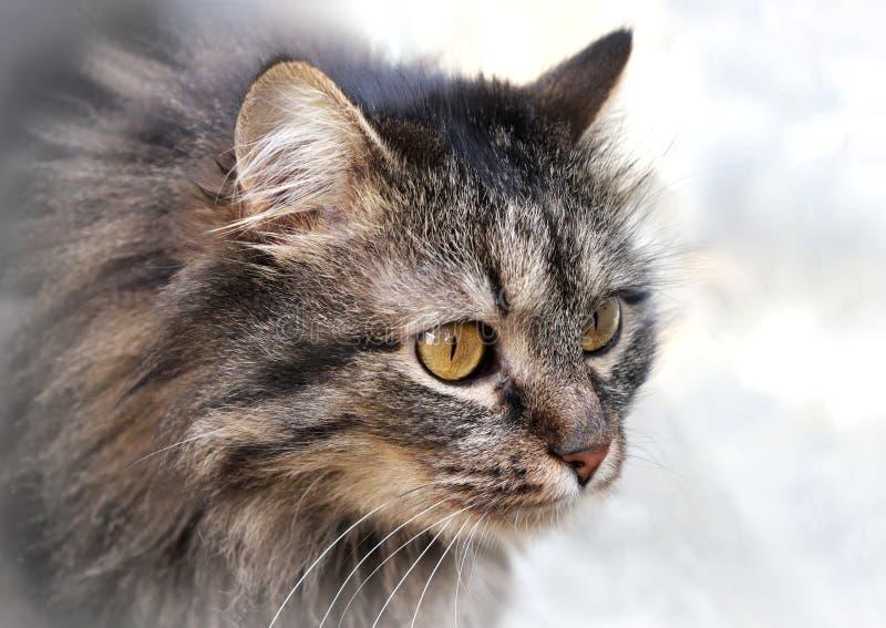 Cat portrait photo. Photo portrait of cat with long coat royalty free stock photos