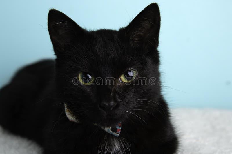 Cat Portrait preta no estúdio e em vestir um laço fotos de stock royalty free