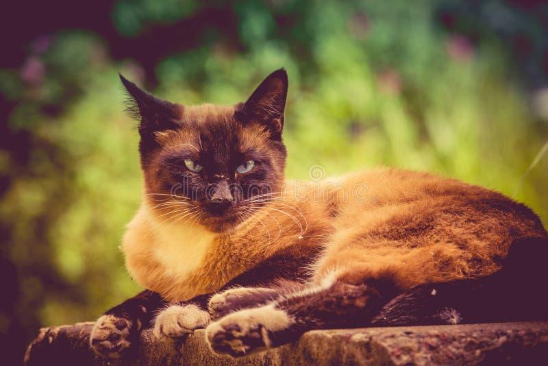 Cat Portrait Retro siamesa fotografía de archivo