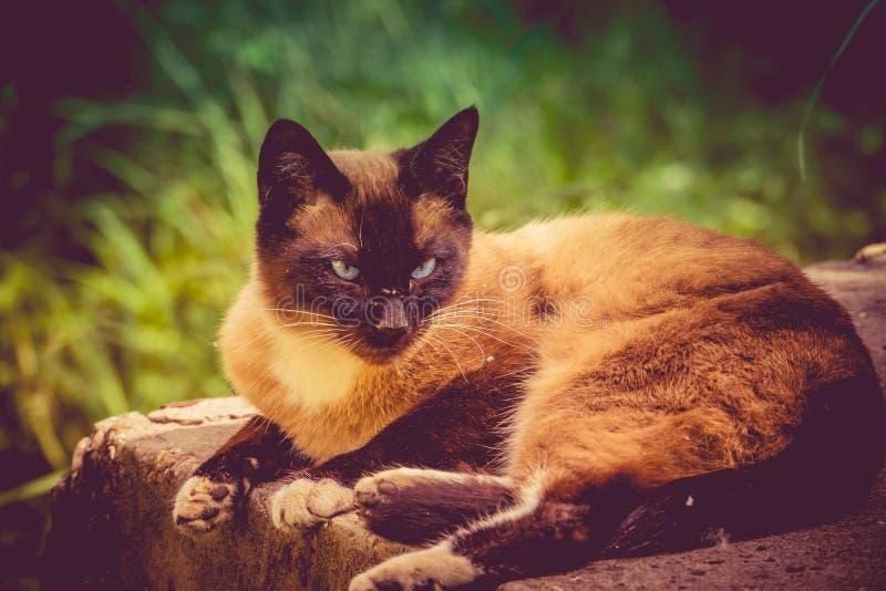 Cat Portrait Retro siamesa foto de archivo libre de regalías
