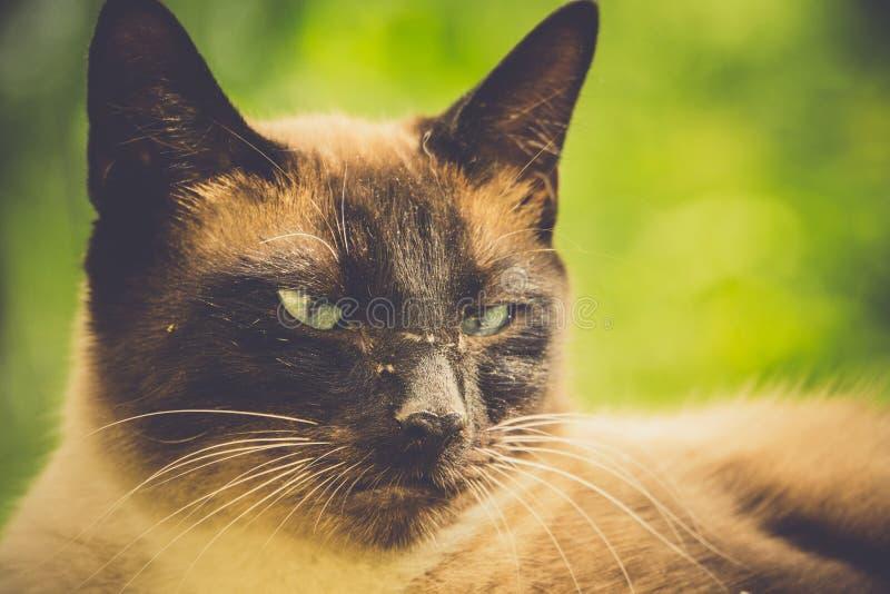 Cat Portrait Retro siamesa fotos de archivo