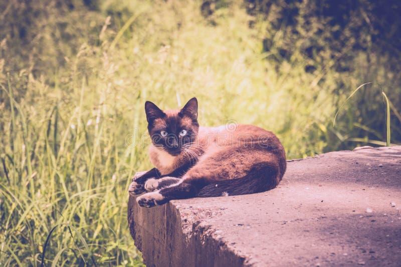Cat Portrait Retro siamesa imagen de archivo libre de regalías