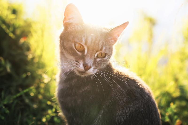 Cat portrait sits on a summer sunny meadow in bright rays. A cat portrait sits on a summer sunny meadow in bright rays royalty free stock photography