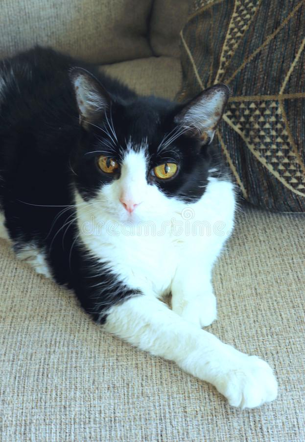 Cat Poses blanco y negro en el sofá fotografía de archivo