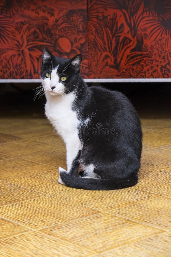 Cat Posing in bianco e nero elegante fotografia stock libera da diritti