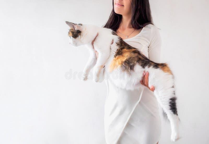 Cat Pregnancy Gato de calicó embarazada con el vientre grande que pone en las manos femeninas foto de archivo